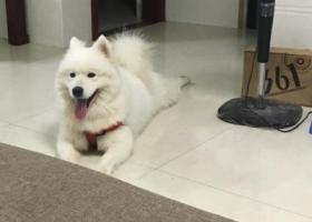 寻狗启示,本人有一只白色萨摩在岱山村走失,它是一只非常可爱的宠物狗狗,希望它早日回家,不要变成流浪狗。