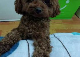 寻狗启示,共和新路江场路附近丢失棕色泰迪狗狗一只,它是一只非常可爱的宠物狗狗,希望它早日回家,不要变成流浪狗。