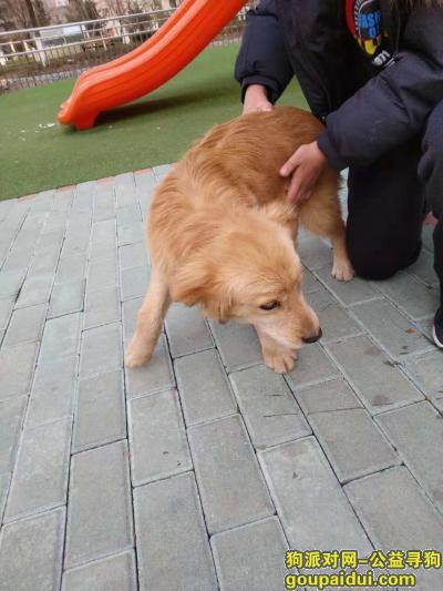 大连寻狗主人,开发区金马路捡到小金毛,它是一只非常可爱的宠物狗狗,希望它早日回家,不要变成流浪狗。