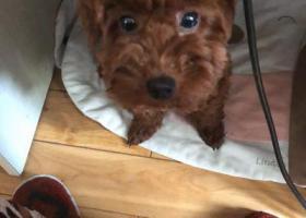 寻狗启示,寻棕色泰迪母犬,断尾,11月23日鞍山一路与重庆南路附近走失,它是一只非常可爱的宠物狗狗,希望它早日回家,不要变成流浪狗。