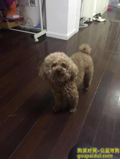 寻狗启示,上海杨浦区酬谢五千元寻找浅棕色泰迪,它是一只非常可爱的宠物狗狗,希望它早日回家,不要变成流浪狗。