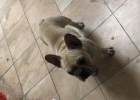 寻狗启示,宝安翠湖花园英国斗牛犬流浪狗,它是一只非常可爱的宠物狗狗,希望它早日回家,不要变成流浪狗。