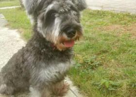 寻狗启示,沙头角海关车站附近丢失椒盐色雪纳瑞,它是一只非常可爱的宠物狗狗,希望它早日回家,不要变成流浪狗。