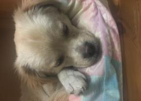 寻狗启示,北京西城捡到一条小狗狗,昨天晚上捡到的,小狗狗等主任领回家。,它是一只非常可爱的宠物狗狗,希望它早日回家,不要变成流浪狗。