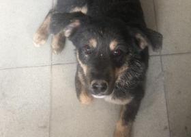 寻狗启示,帮忙找狗,必有重谢,北京朝阳,它是一只非常可爱的宠物狗狗,希望它早日回家,不要变成流浪狗。