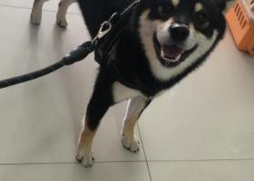 寻狗启示,黑色公柴犬在江苏南通工农路附近走丢,它是一只非常可爱的宠物狗狗,希望它早日回家,不要变成流浪狗。