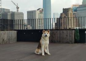 寻狗启示,黄浦外白渡桥附近走失一只秋田犬,它是一只非常可爱的宠物狗狗,希望它早日回家,不要变成流浪狗。