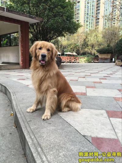 泰安找狗,2018年12月11日晚8-9点在财源街道南湖公园和九州家园火车道桥洞处丢失成年金毛犬,它是一只非常可爱的宠物狗狗,希望它早日回家,不要变成流浪狗。