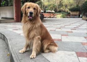 寻狗启示,2018年12月11日晚8-9点在财源街道南湖公园和九州家园火车道桥洞处丢失成年金毛犬,它是一只非常可爱的宠物狗狗,希望它早日回家,不要变成流浪狗。
