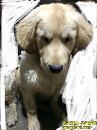 寻狗启示,寻找金毛主人,11月27号上午捡到的,它是一只非常可爱的宠物狗狗,希望它早日回家,不要变成流浪狗。