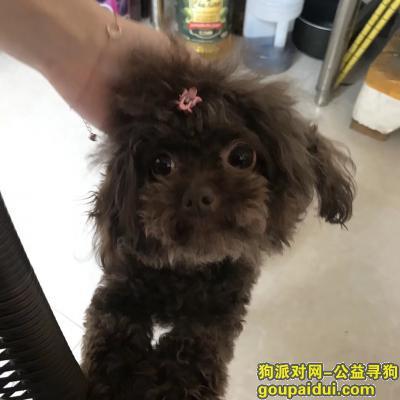 寻狗启示,棕色泰迪走失于11.17温州鹿城墨池巷,它是一只非常可爱的宠物狗狗,希望它早日回家,不要变成流浪狗。