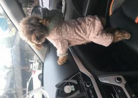 寻狗启示,【寻狗】家里泰迪于2018年12月14日上午10:35左右在涪城区丝厂家属区丢失,它是一只非常可爱的宠物狗狗,希望它早日回家,不要变成流浪狗。
