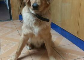 寻狗启示,寻金毛一岁左右,必有重谢,它是一只非常可爱的宠物狗狗,希望它早日回家,不要变成流浪狗。