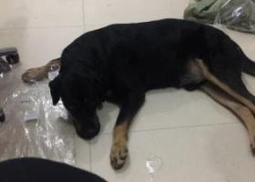 寻狗启示,义乌捡到一只黑色拉布拉多,它是一只非常可爱的宠物狗狗,希望它早日回家,不要变成流浪狗。