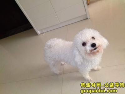 枣庄寻狗,寻狗启示:急寻爱犬白色比熊母6斤左右,它是一只非常可爱的宠物狗狗,希望它早日回家,不要变成流浪狗。