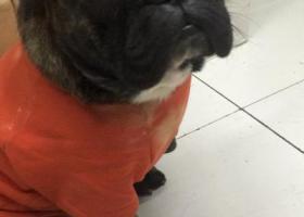 寻狗启示,寻狗启示,是一只法国斗牛犬,对主人很重要,家人很着急,它是一只非常可爱的宠物狗狗,希望它早日回家,不要变成流浪狗。