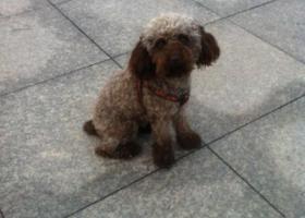 寻狗启示,市北区宁化路1路四方站附近泰迪走失,它是一只非常可爱的宠物狗狗,希望它早日回家,不要变成流浪狗。