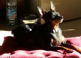 寻狗启示,寻找一只黑色铁包金小鹿狗,它是一只非常可爱的宠物狗狗,希望它早日回家,不要变成流浪狗。