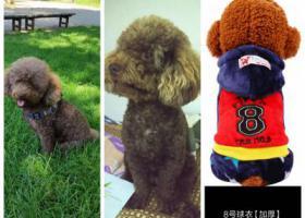 寻狗启示,重金寻找一只咖啡色的小泰迪,它是一只非常可爱的宠物狗狗,希望它早日回家,不要变成流浪狗。