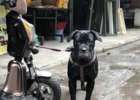 寻狗启示,重庆九滨路捡到黑色拉布拉多,它是一只非常可爱的宠物狗狗,希望它早日回家,不要变成流浪狗。