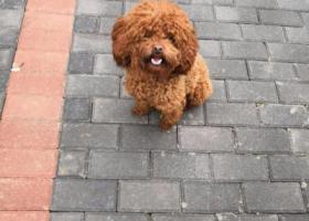 寻狗启示,好心人帮我寻我家非常听话的泰迪狗狗,它是一只非常可爱的宠物狗狗,希望它早日回家,不要变成流浪狗。