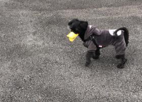 寻狗启示,重金寻狗 番茄快回家,它是一只非常可爱的宠物狗狗,希望它早日回家,不要变成流浪狗。