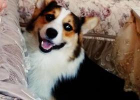 寻狗启示,急寻江宁佛城东路水韵小区黑白科技犬,它是一只非常可爱的宠物狗狗,希望它早日回家,不要变成流浪狗。
