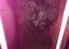 寻狗启示,灰黑色泰迪,在后湖大道捡到,它是一只非常可爱的宠物狗狗,希望它早日回家,不要变成流浪狗。