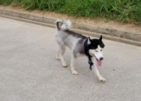 寻狗启示,寻哈士奇-深圳龙岗中心城,它是一只非常可爱的宠物狗狗,希望它早日回家,不要变成流浪狗。
