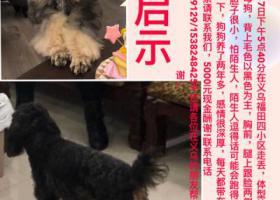 寻狗启示,义乌福田四区附近走丢一只黑色泰迪铁包金狗狗,它是一只非常可爱的宠物狗狗,希望它早日回家,不要变成流浪狗。