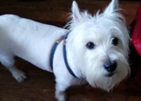 寻狗启示,我的西高地位于茶陵路小区附近走失,它是一只非常可爱的宠物狗狗,希望它早日回家,不要变成流浪狗。