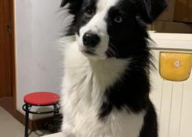 寻狗启示,寻找边牧狗狗相城区登云家园,它是一只非常可爱的宠物狗狗,希望它早日回家,不要变成流浪狗。
