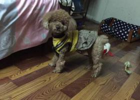 寻狗启示,嘉兴市洪合镇鸟船村附近走失泰迪一只,它是一只非常可爱的宠物狗狗,希望它早日回家,不要变成流浪狗。
