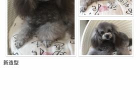 寻狗启示,重金3000元寻灰色泰迪,它是一只非常可爱的宠物狗狗,希望它早日回家,不要变成流浪狗。