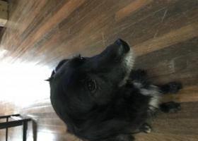 寻狗启示,上海重金酬谢 寻黑色母狗一只,它是一只非常可爱的宠物狗狗,希望它早日回家,不要变成流浪狗。