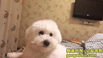 开封寻狗启示,开封市鼎立国际城c区酬谢两千元寻找比熊,它是一只非常可爱的宠物狗狗,希望它早日回家,不要变成流浪狗。