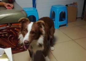 寻狗启示,龙华大浪街道石凹村捡到一只黄白边牧,它是一只非常可爱的宠物狗狗,希望它早日回家,不要变成流浪狗。