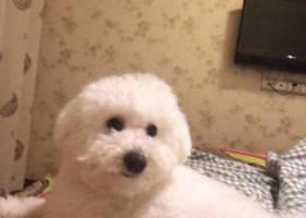 寻狗启示,开封市 鼎立国际城c区酬谢两千元寻找比熊,它是一只非常可爱的宠物狗狗,希望它早日回家,不要变成流浪狗。