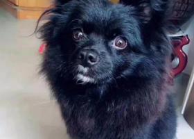 寻狗启示,深圳宝安西乡步行街走失黑色博美,它是一只非常可爱的宠物狗狗,希望它早日回家,不要变成流浪狗。