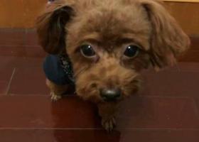 寻狗启示,义乌九联附近走丢一只棕红色的泰迪,它是一只非常可爱的宠物狗狗,希望它早日回家,不要变成流浪狗。