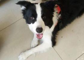 寻狗启示,边牧犬,在铁西捡的,找主人相认。联系微信zmy1030332034,它是一只非常可爱的宠物狗狗,希望它早日回家,不要变成流浪狗。