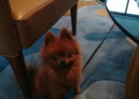 寻狗启示,棕色博美 眼睛很灵动,很活泼,它是一只非常可爱的宠物狗狗,希望它早日回家,不要变成流浪狗。