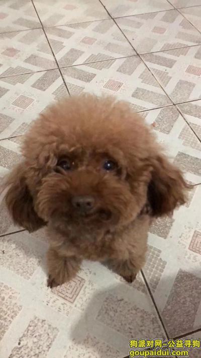 菏泽丢狗,菏泽广福大街寻泰迪狗,它是一只非常可爱的宠物狗狗,希望它早日回家,不要变成流浪狗。