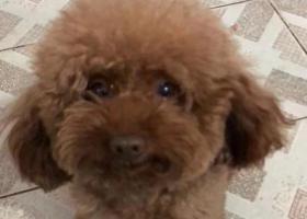 寻狗启示,菏泽广福大街寻泰迪狗,它是一只非常可爱的宠物狗狗,希望它早日回家,不要变成流浪狗。