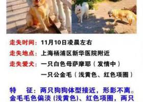 寻狗启示,上海杨浦区新华医院酬谢一万元寻找金毛萨摩,它是一只非常可爱的宠物狗狗,希望它早日回家,不要变成流浪狗。