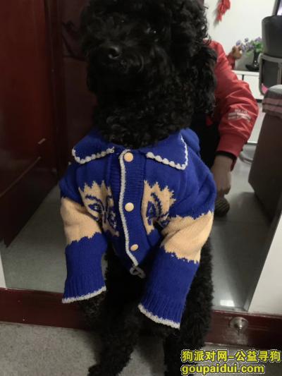 ,黑色泰迪,它是一只非常可爱的宠物狗狗,希望它早日回家,不要变成流浪狗。