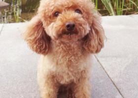 寻狗启示,泰迪一只,小型犬,8岁半,它是一只非常可爱的宠物狗狗,希望它早日回家,不要变成流浪狗。