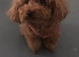 寻狗启示,寻找棕色泰迪四岁左右,它是一只非常可爱的宠物狗狗,希望它早日回家,不要变成流浪狗。