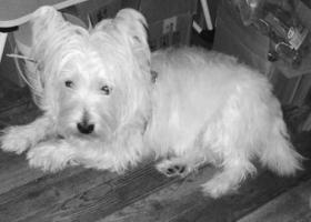 寻狗启示,徐汇区寻找西高地,它是一只非常可爱的宠物狗狗,希望它早日回家,不要变成流浪狗。