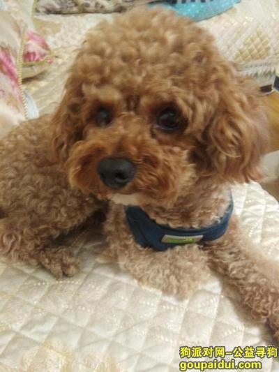 烟台寻狗,22号丢失浅棕色泰迪一只,它是一只非常可爱的宠物狗狗,希望它早日回家,不要变成流浪狗。